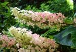 Oak Leaf Hydranges, Pamela Goode
