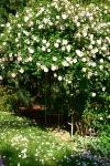 Rose Arbor, Pamela Goode