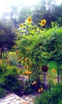 Sunflowers, Pamela Goode